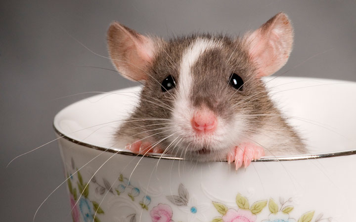 sonhar com rato um