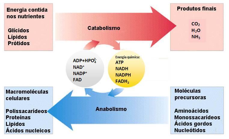 metabolismo-catabolismo