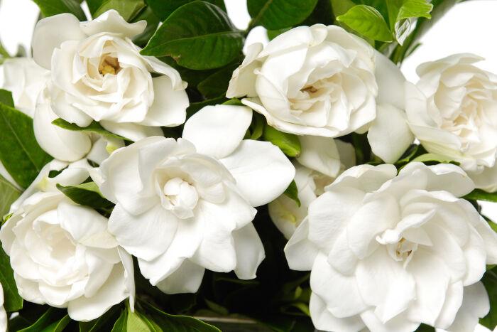 bouquet gardenia plant