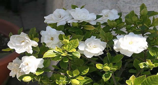 gardenia-20