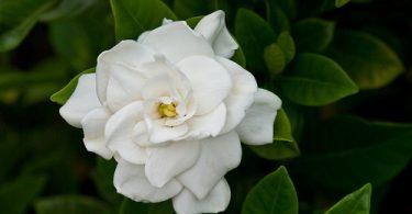 gardenia-5-1