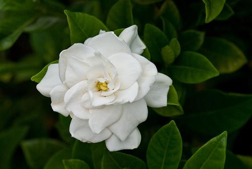 gardenia-5