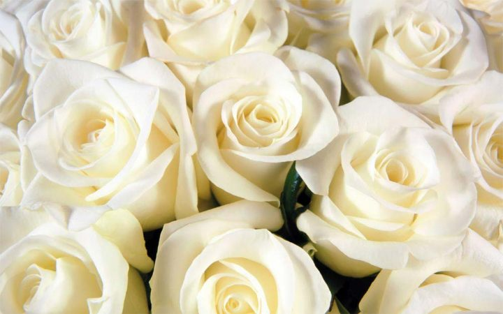 rosas-brancas-7