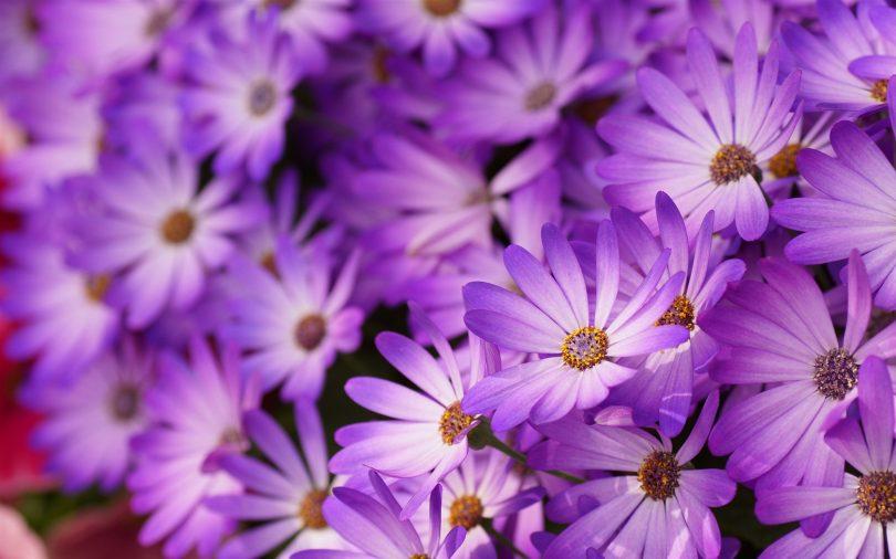 Flores Roxas: tipos, tons e curiosidades - Tudo Ela