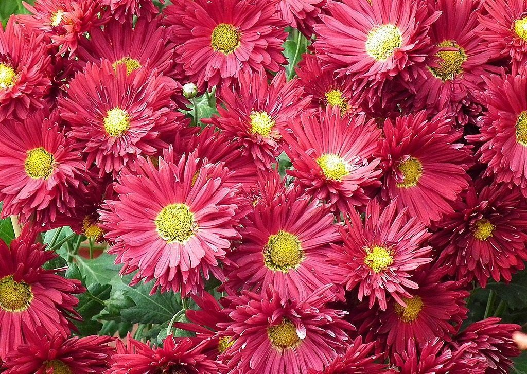 crisantemos-rosas