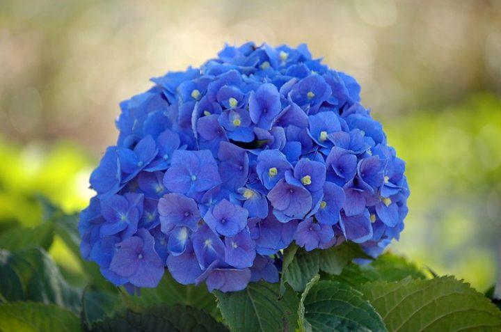 hortensias-azuis