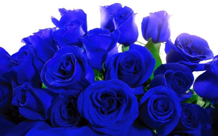 rosas-azuis-1