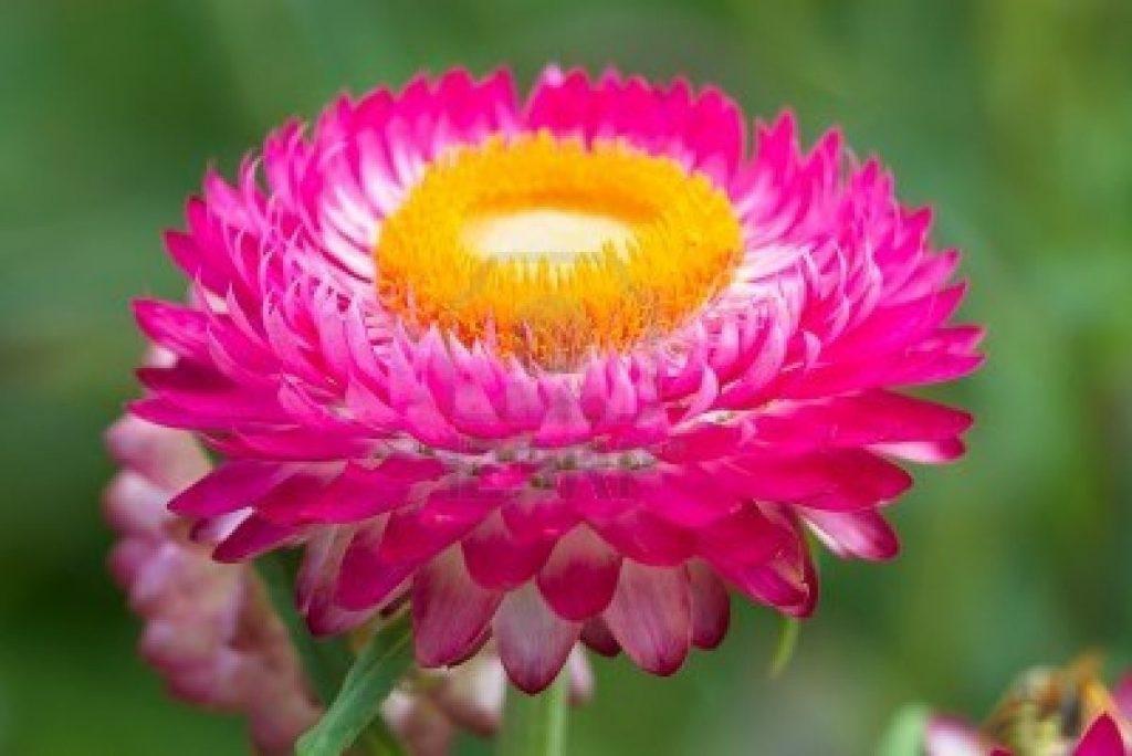 sementes-de-sempre-viva-helichrysum-bracteatum-comtem-03g-512301-mlb20287957658_042015-f