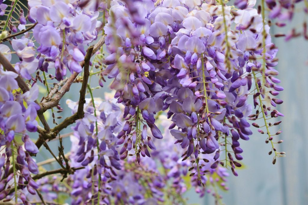 wisteria-plant-page