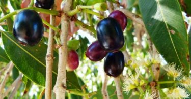 Benefícios do jambolão ou jamelão