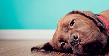 Câncer de pele em cachorros