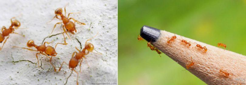 Veneno para formiga